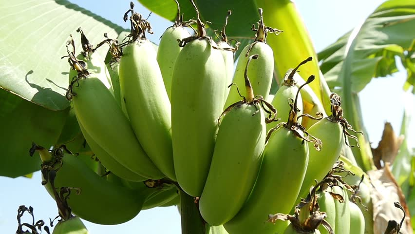 bunch of bananas on the tree 2