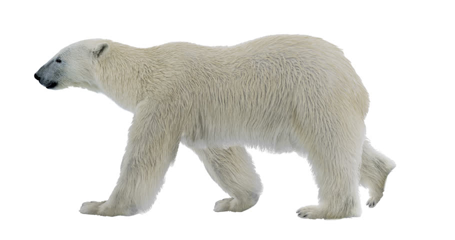 Polar bear cyclical walking. It contains an alpha channel. Can be used in real coloring, and as a silhouette. Alpha channel