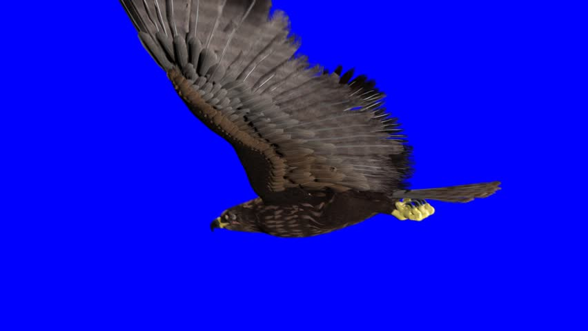 isolated eagle on blue-screen