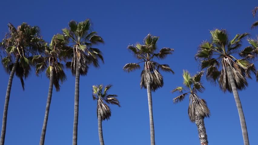 Palm Trees 10 Blue Sky Venice Beach California  | Shutterstock HD Video #11776625
