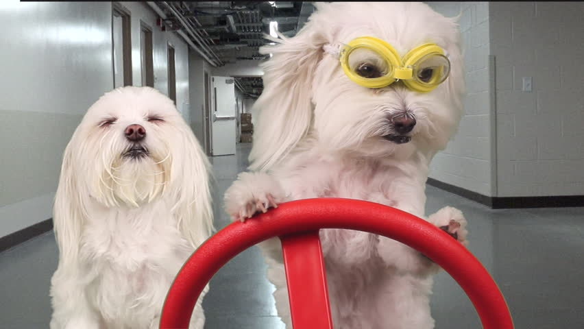 Adorable canine with serious expression wears safety goggles, drives another dog, acting like an inspector through hallways in warehouse utility vehicle. FUN dog concept. Motion, composite. 1080p | Shutterstock HD Video #11806559
