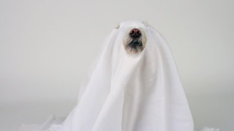 Dog ghost wears white sheet, eyes, snout, teeth, sticking out of holes, raises head, yowls. 1080p