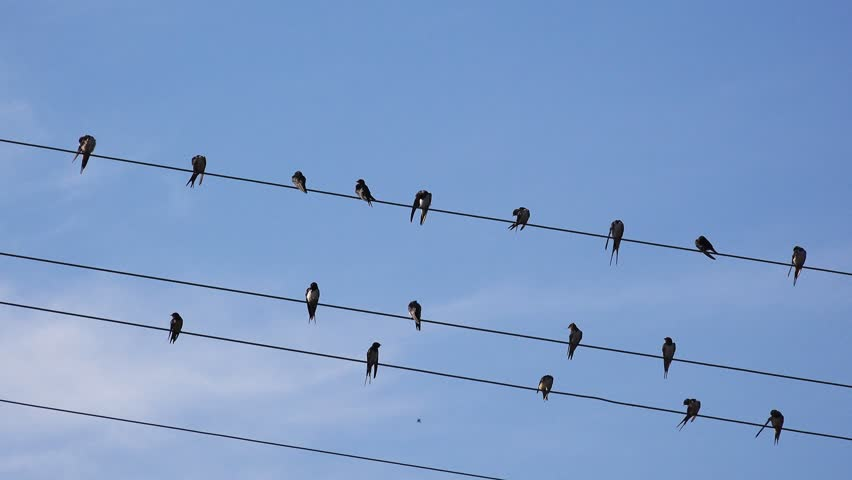 Flock of european swallows resting and grooming on power lines cables, birds in groups, animal behavior, 4k uhd footage.