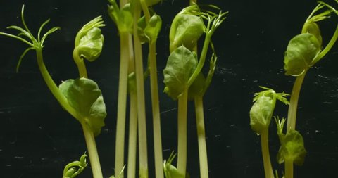 Time Lapse Footage Bean Seed Germination
