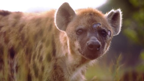 Close up of hyena's face as the hyena looks around and at the camera. Filmed in Kenya, Africa.