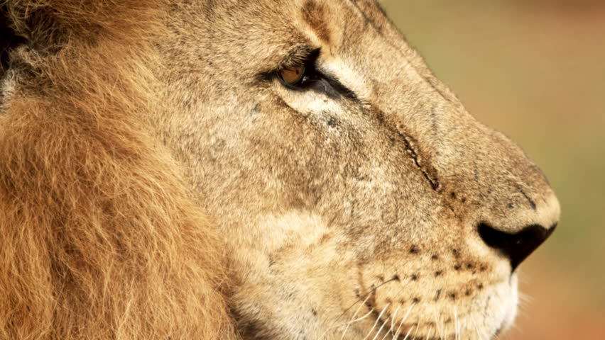 Close up of male lion profile. It turns to show its other profile. Filmed in Kenya, Africa.