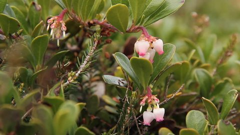 Bearberry Plant and Flowers - Plant with medicinal properties. Bearberry Leaves, Arctostaphylos uva-ursi