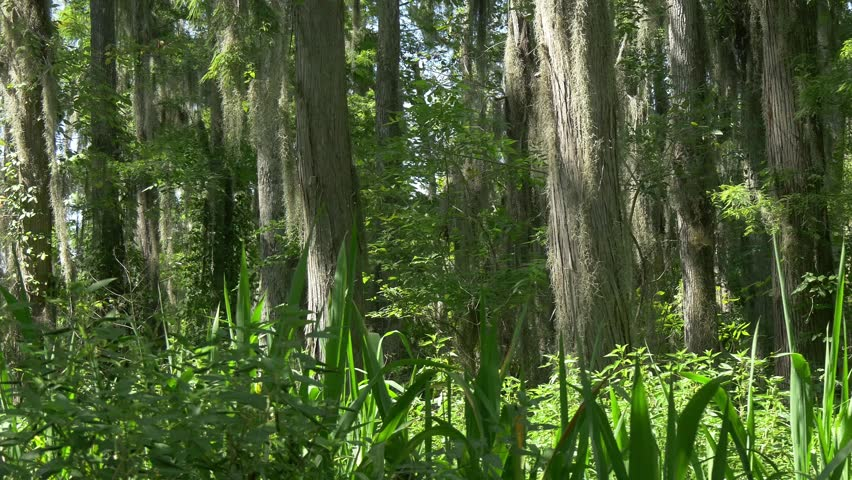 Natural Louisiana swampland environment passing by | Shutterstock HD Video #12061625