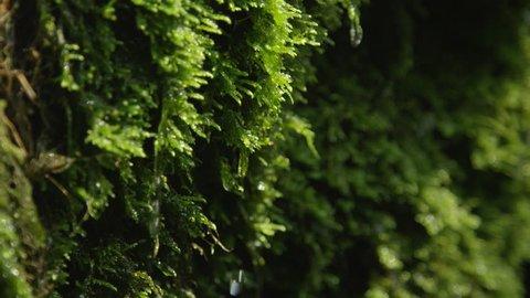 CLOSE UP: Water drops falling off a wet moss