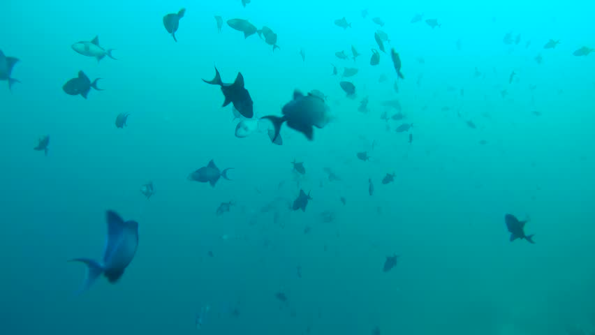 A large school of Red-toothed triggerfish (Odonus niger) swimming in the water column, Indian Ocean, Maldives