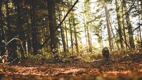 Weimaraner dog runs towards owner on fall nature walk