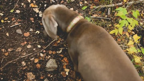 Weimaraner dog runs ahead of owner on fall nature walk