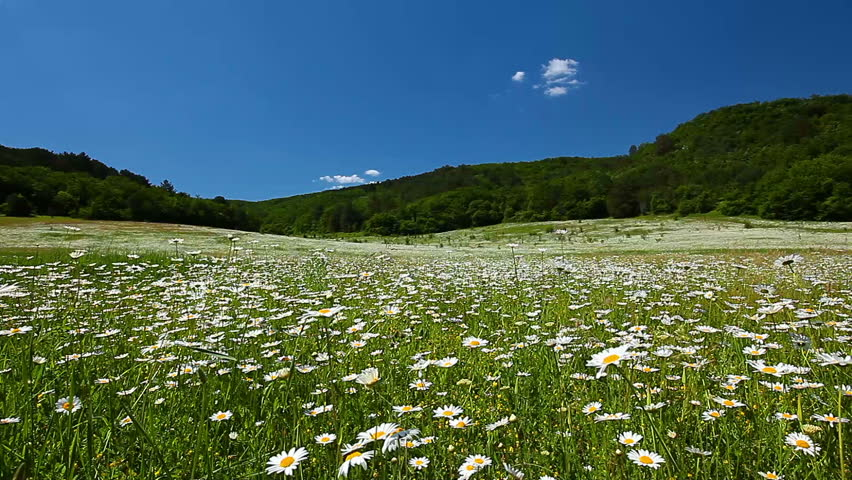 White flower free video clips 905 free downloads field of camomile mightylinksfo