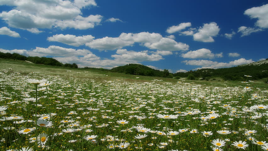 Valley With Camomile Flowers Timelapse Hd Stock Video Clip