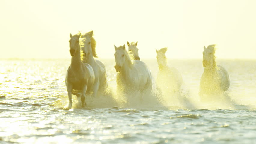 Camargue, France sunrise animal horses wild white livestock environment running freedom water Mediterranean nature tourism travel RED DRAGON | Shutterstock HD Video #12292616