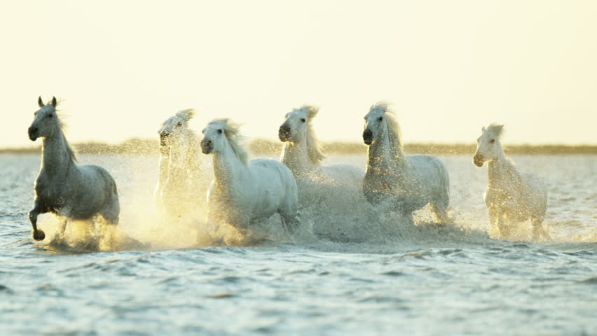 Camargue, France animal horses wild white livestock environment running rider cowboy water Mediterranean nature tourism travel RED DRAGON #12292715