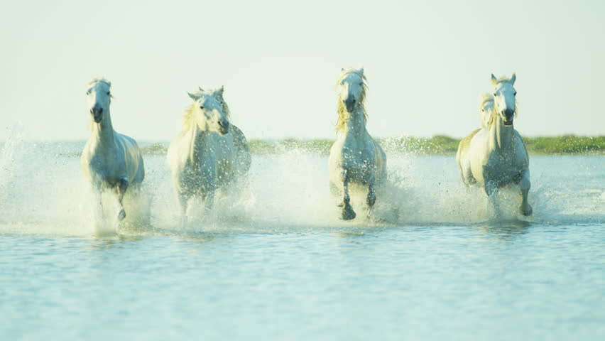 Camargue, France animal horses wild white livestock environment running rider cowboy water Mediterranean nature tourism travel RED DRAGON | Shutterstock HD Video #12292775