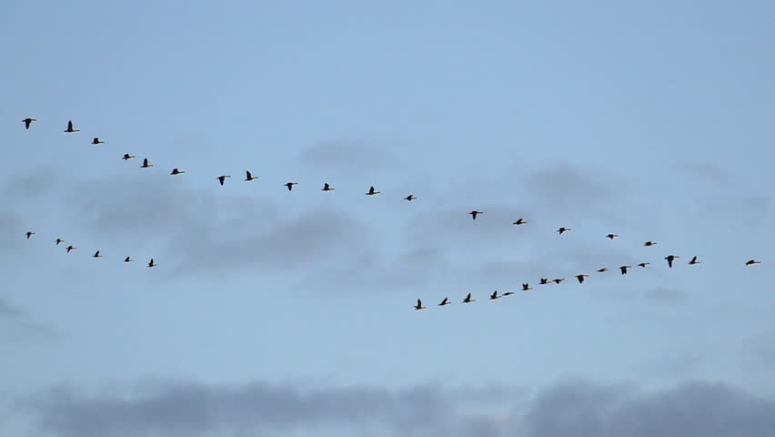 Flock of Graceful Canadian Geese Flying in Slow Motion.
