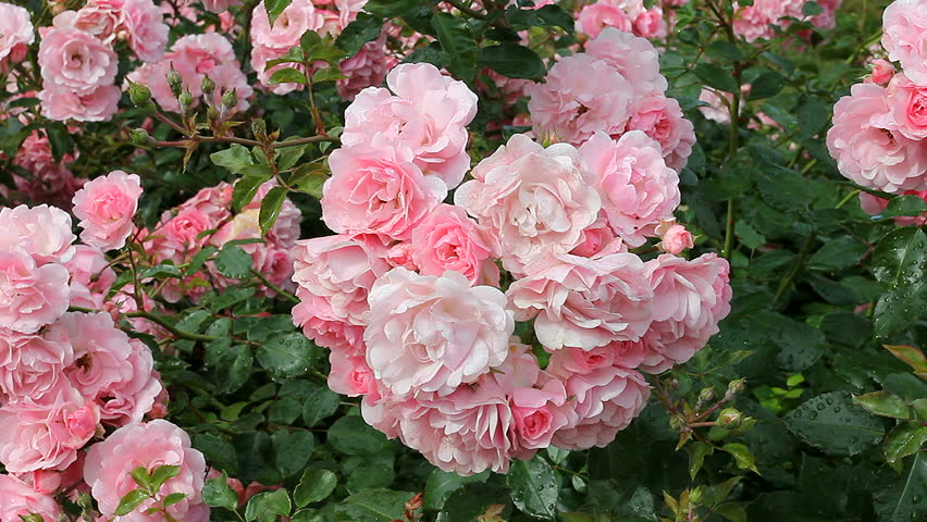 Stock Video Of Pink Roses A Flower Garden With