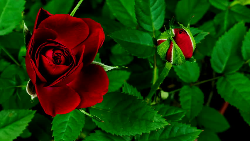 Lovely Roses Opening In Time Stock Footage Video 100 Royalty
