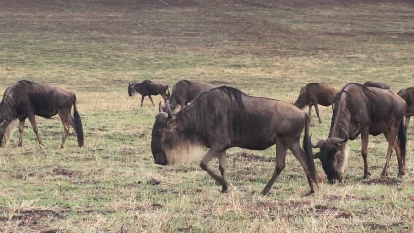 Wildebeest in savannah. Safari in Tanzania | Shutterstock HD Video #12341093