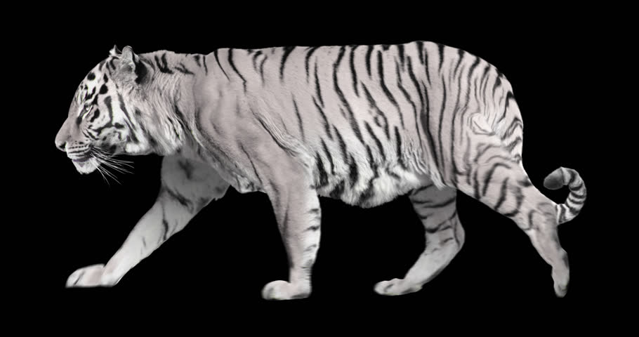 White tiger walks. Isolated and cyclic animation. Alpha cannel.