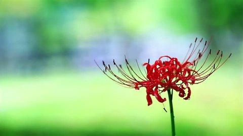 Licorice /Higanbana, the Latin name - Lycoris radiata (bulbous plant of the family Amaryllidaceae). Shallow D.O.F.