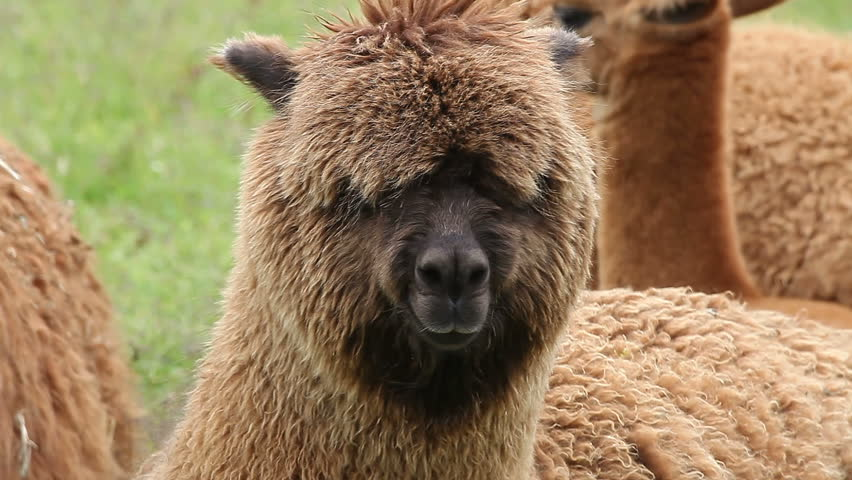 Portrait of chewing alpaca with eyes overgrown by wool, other alpacas on background. Space on bottom for text. Find similar clips in my portfolio.