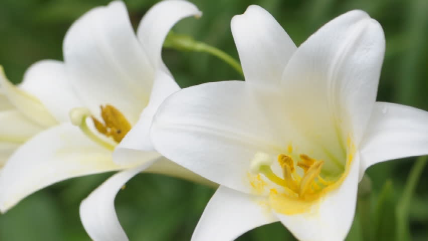 White Easter lilies blowing in the wind (SLR)