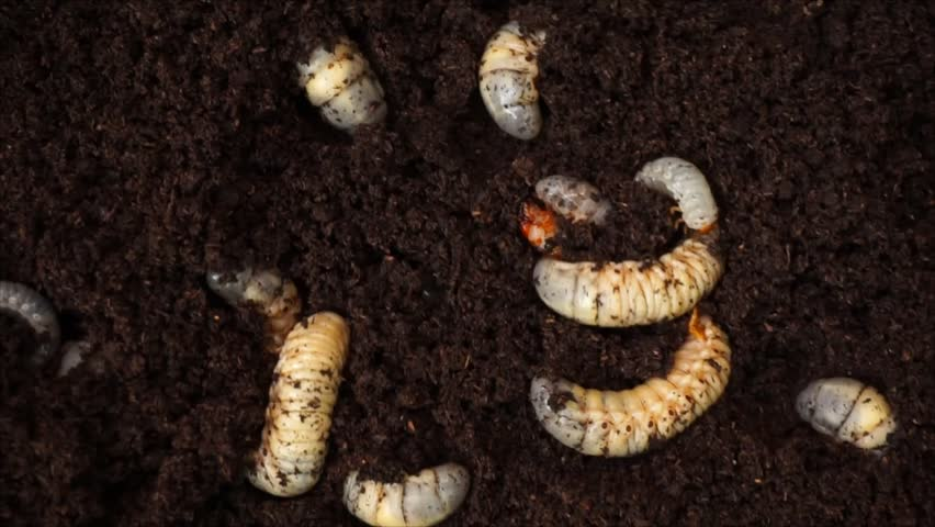 image of rhinoceros beetle larva on the ground .