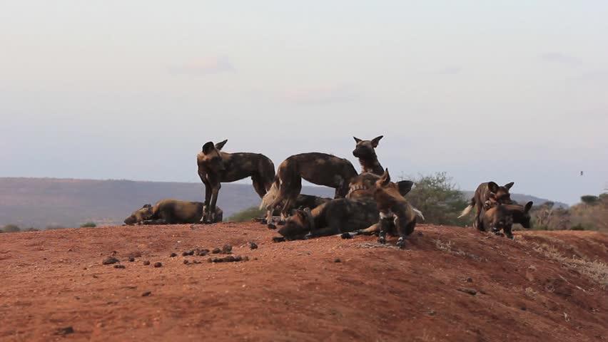 Header of African Wild Dog