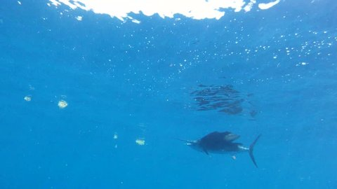 Sailfish Underwater Close Up