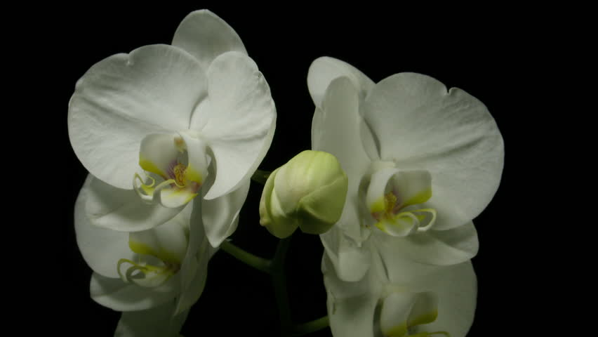 Time-lapse of white orchid opening 2