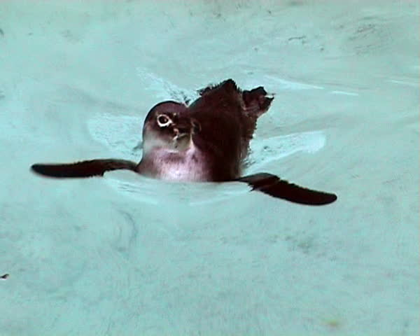 Close-up of a swimming penguin
