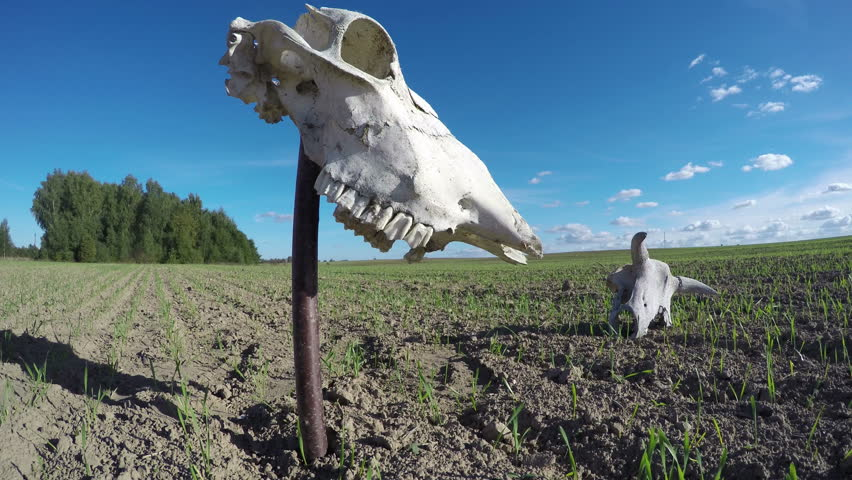horse and cow skull on agriculture farm field with wheat sprouts in autumn. Memory concept.  Timelapse 4K