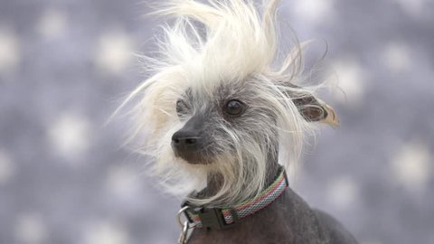 Chinese crested hairless dog with hair blowing in the wind in slow motion