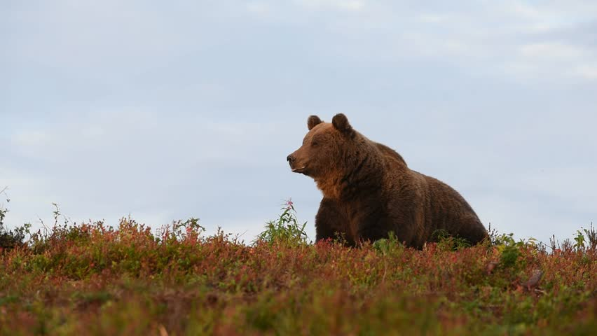 Brown bear eating berries on the hill in the autumn