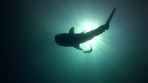 Looking straight up at silhouette of whaleshark as it slowly swims along.