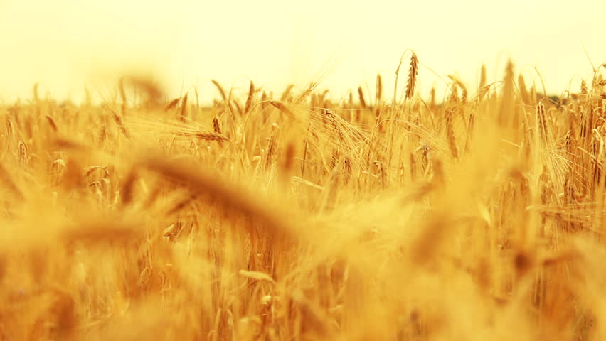 Field of swaying golden Wheat (HQ 1080P)