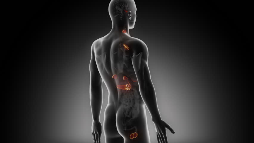 Male Endocrine System In Loop Stock Footage Video 100 Royalty