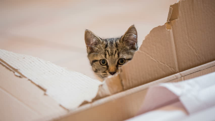 Kitten hiding behind ripped cardboard. Baby cat behind ripped cardboard box and jumping away. Low angle close up