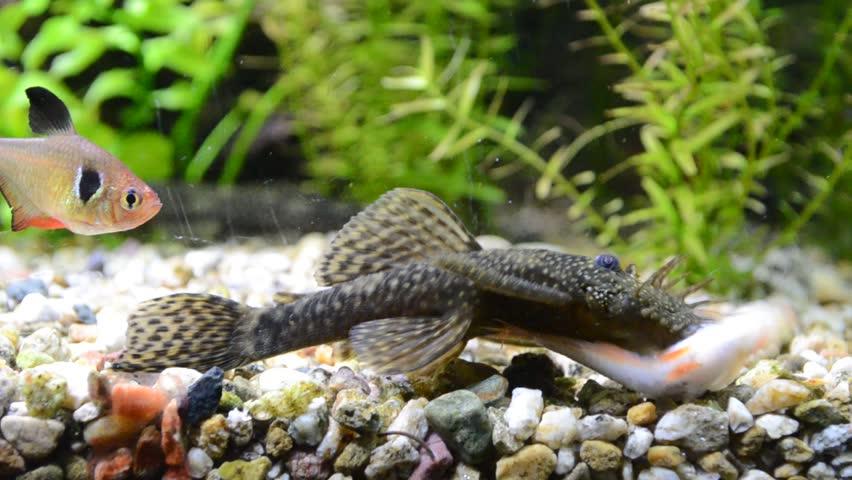 Aquarium Fish Bushymouth Catfish Ancistrus Stock Footage Video 100