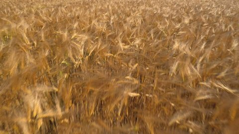 Aerial - Low flight over golden wheat field with panoramic view at the end