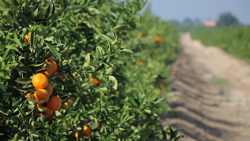 Pictures Of Mandarin Orange Tree