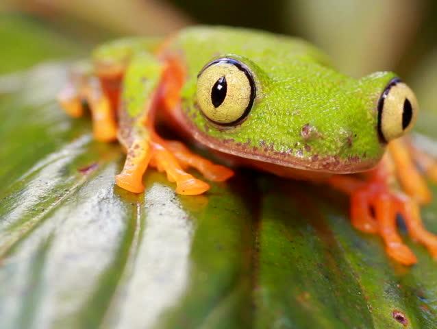 Leaf Frog (Agalychnis hulli) in the rainforest understory, Ecuador