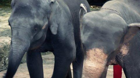 Elephants Forced To Dance Animal Cruelty