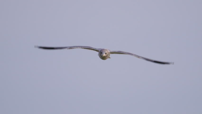 Beautiful shot of seagull flying straight towards camera in 240 fps slow motion, Flings flapping, head turning, and eyes looking around