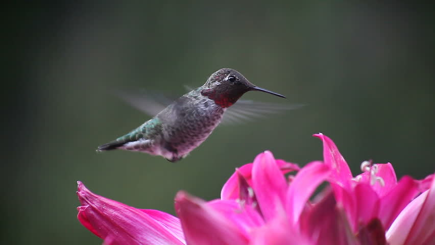 A ruby-throated hummingbird feeds on pink belladonna lilies | Shutterstock HD Video #1303885