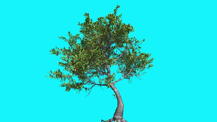 Red Mangrove Thin Tree with Green Leaves on Chroma Key, Tree on Alfa Channel, Tree on Blue Screen, Crown with Leaves is Swaying at the Wind in summer, Computer Generated Animation Made in Studio