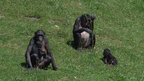 Bonobo family in green enviroment baby playing